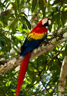A colorfull macaw parrot perched on a branch