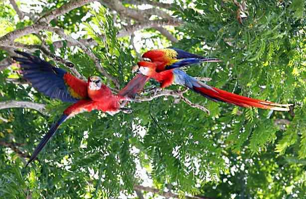 Scarlet_Macaw_Wild_OSA_Costa_Rica