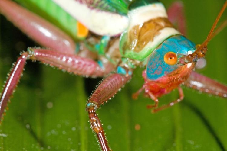 Yestria azureus, Abel's katydid, Caves Branch, Belize-3515